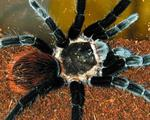Неядовитые пауки птицееды